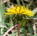 Taraxacum_intermedium_4867.jpg