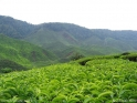Cameron_Highlands_tea_fields_1.jpg