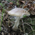 Amanita_pantherina_7562.jpg