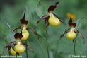 Cypripedium_calceolus_2339.JPG