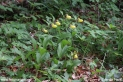 Cypripedium_calceolus_2351.JPG