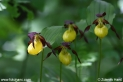 Cypripedium_calceolus_9135.JPG