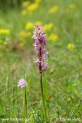 Orchis_mascula_2989.JPG
