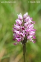 Orchis_simia_0146.jpg
